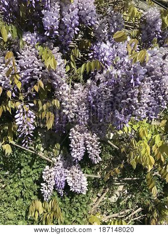 the hanging wisteria flowers bloom in Italy
