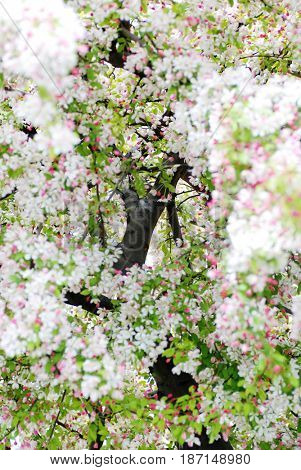 Pink and white flower blossoms on cherry tree in sprintime