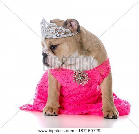 spoiled female dog wearing tiara on white background