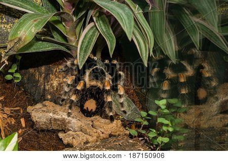 Poisonous spider Tarantula (tarantula) a close up