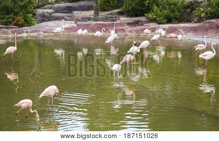 Phoenicopterus minor on a lake in a safari park