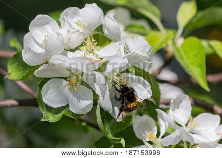Bumblebee pollinating a flowering apple tree closeup