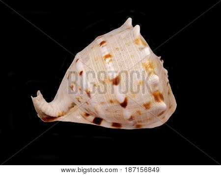 Close up of a Conch shell isolated on black background