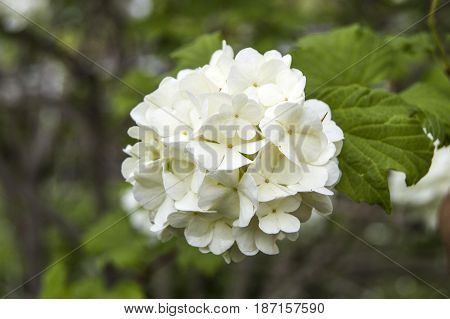 Snowball tree, the most beautiful snowball flower and tree pictures