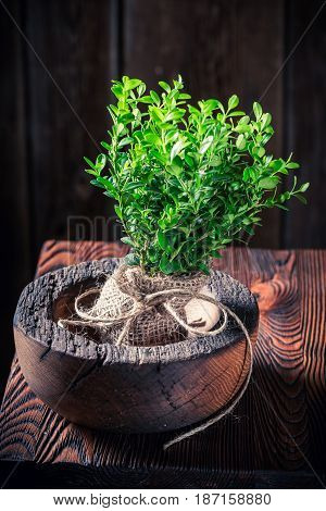 Small Seedling Of Tree On Wooden Bowl