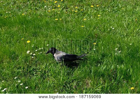 A walking raven in the garden of the Novodevichy Convent - Moscow, Russia