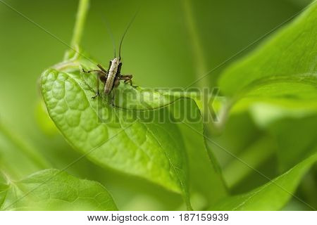 nature background grasshopper partially peeking from the foliage of clematis