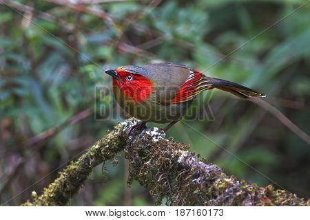 Red-faced Liocichla Liocichla Phoenicea Birds Of Thailand