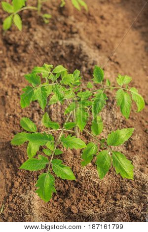 Plant A Sapling A Tomato Bush In The Greenhouse