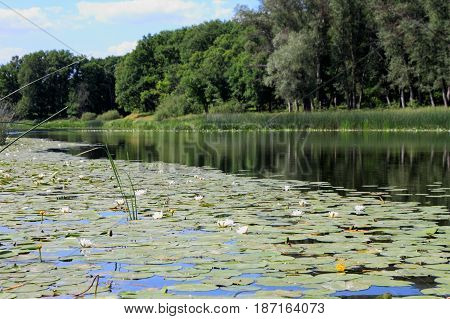Beautiful Forest lake with white water lilies.