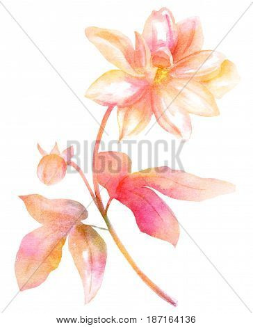 A vintage style watercolor drawing of a pink dahlia flower on white background, toned image