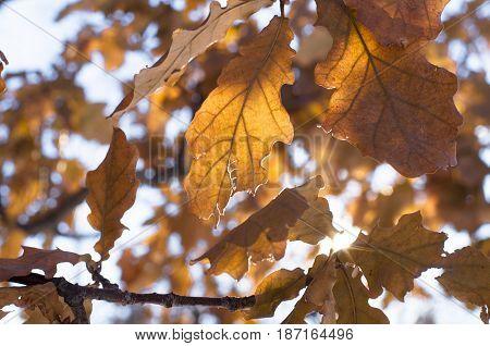 Oak leaves in the sun light. Oak tree braches.