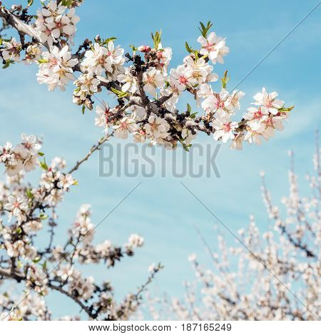 A square photo of almond trees in bloom in the Retiro park in Madrid, Spain. Selective focus, and a place for text