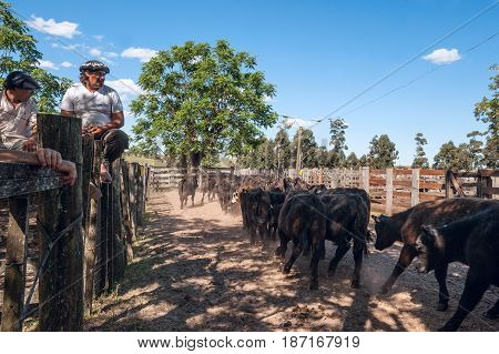 Tacuarembo Uruguay - October 25 2012: Gauchos observe how a herd of young bull-calves goes to the auctions. Gaucho is a resident of the South American pampas