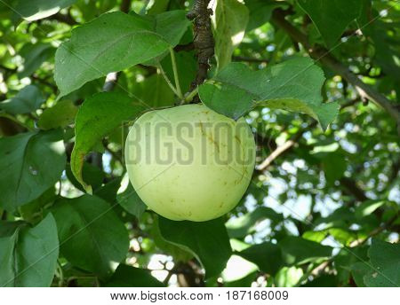 Green apple against a blurred background leaves. Natural organic food on the tree. Sunny summer day.