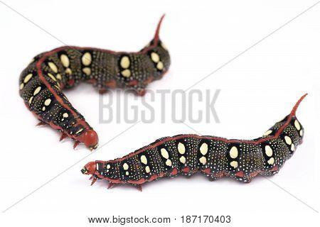 Caterpillar Spurge Hawk-moth (Hyles euphorbiae) on a white background