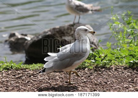 Ring-billed gull walking on dry land close to a ponds edge.