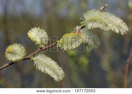 Willow branches with buds. Early spring forest blooms with willow tree flowers