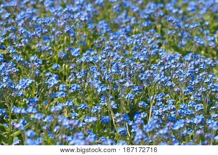 Myosotis Forget-me-nots as a background Forget Flowers
