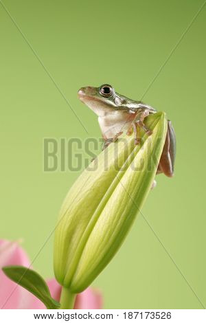 Tree frog ( Litoria infrafrenata ) on a green background