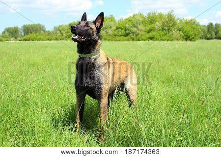 chien berger belge malinois attentif en position debout en attente d'ordres