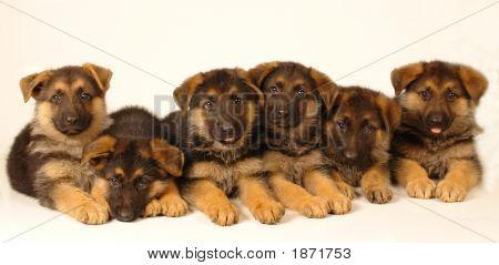Six Puppies 2