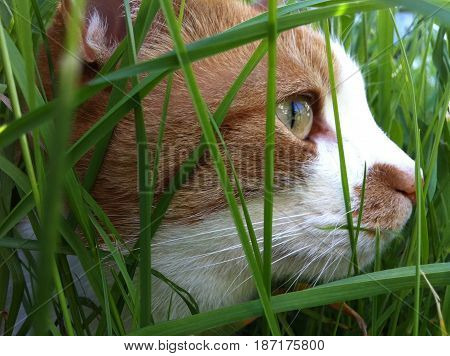 Cat hiding on the grass to hunt for mice
