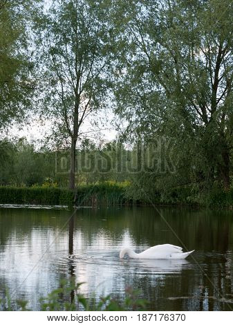 Gorgeous Shots Of A Single Swan On A Lake Close Up Reflected Resting And Being Serene And Powerful O