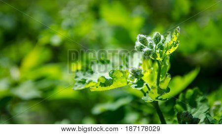 Celandine flower. Spring, April hairy plant on green backgroung