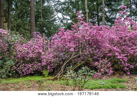 Rhododendron flowers create a wall of color in Federal Way Washington.