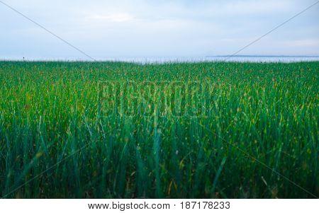 Green grass on the sea coast of Azov Sea in May