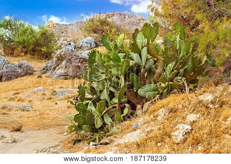 Huge Green Cactus. Rethymno, Crete, Greece