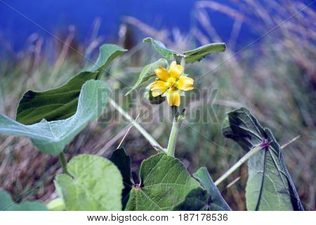 Velvetleaf (Abutilon theophrasti), also called velvetweed, Chinese jute, China jute, buttonweed, butterprint, pie-marker, or Indian mallow, blooms in Joliet, Illinois during August.