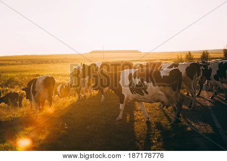 Herd Of Cows Grazing In Green Meadow In Summer Evening. Natural Sunlight Over Pasture During Sunset Or Sunrise.
