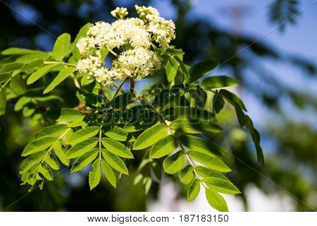 Rowan Tree In Bloom. Branch Of White Rowan Tree Flowers