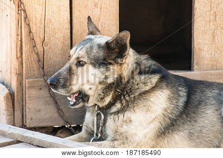 Dog On The Chain Rests In The Shade Of The Kennel.