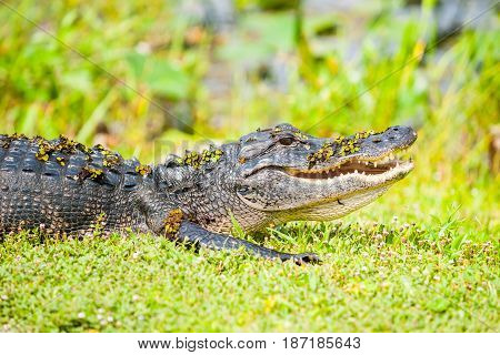 Wild aligator with swamp vegetation still on its back after comig out of pond by Florida everglades.