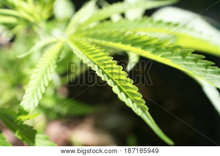 Marijuana Leaf Close Up High Quality Stock Photo