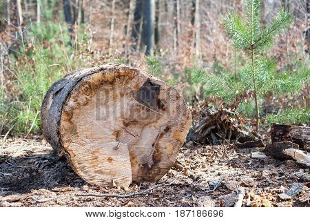 Fresh Sawn Wood Pile Lying In Forest