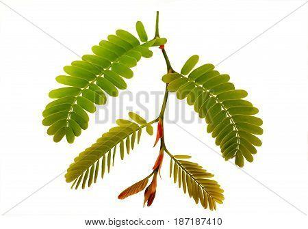 Tamarind leaves isolated on white background. Green tamarind leaves is pinnately compound leaves.