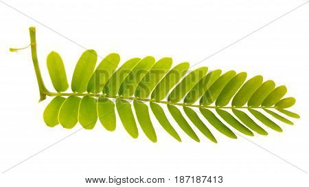 Tamarind leaves isolated on white background. Green tamarind leaves is pinnately compound leaves.