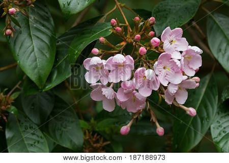 Closeup of Luculia pinceana flowers in pink found from Himalayas, growing in Tasmania, Australia