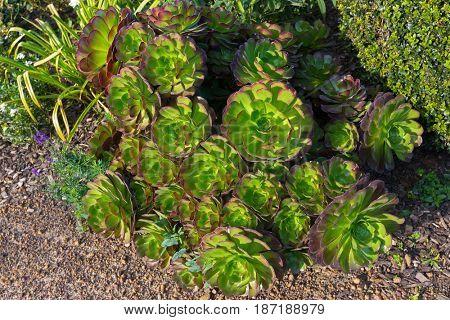 Aeonium arboreum, also called tree houseleek, Irish rose, succulent plant growing in Tasmania, Australia