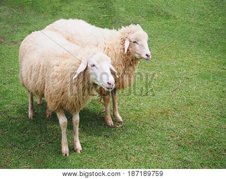 Two sheeps standing in spring grass meadow.