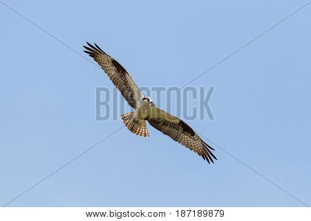 flying osprey bird at vancouver bc canada