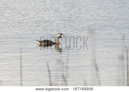 Pied billed Grebe at vancouver bc canada