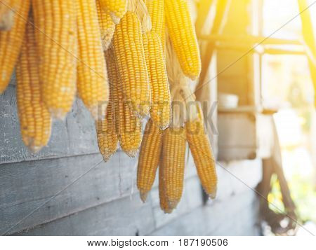 Dry old yellow corns hanging on the wall.