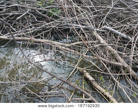 sticks and branches in the water and bullfrog