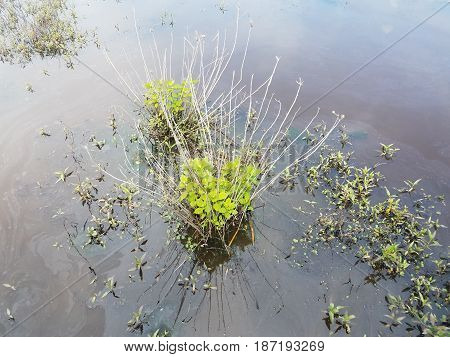 vegetation in the murky water in a wetland environment