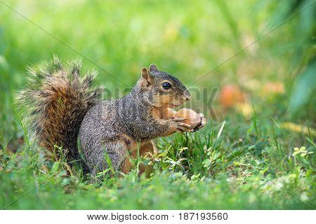 Squirrel (Sciurus niger) eating peach fruit under the tree in the garden
